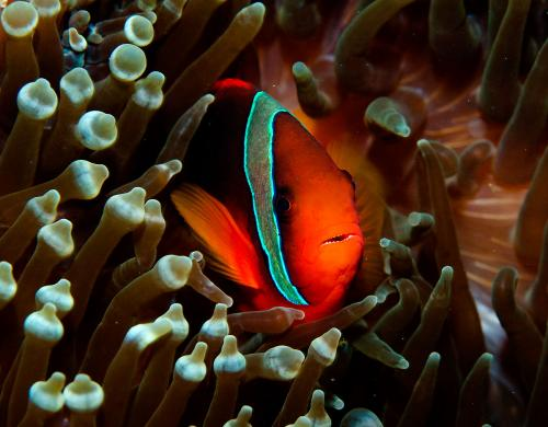 Amphiprion frenatus - Tomato clownfish, Автор - Andrey Ryanskiy, Рейтинг - 3.66