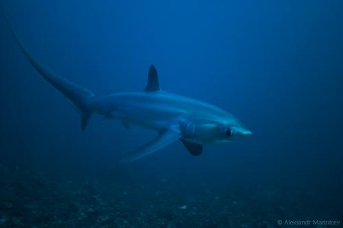 Magnificent Thresher Shark, Автор - , Рейтинг - 4.1