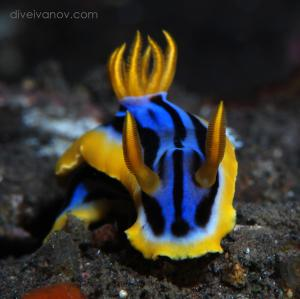 Chromodoris elisabethina (№ 188), Автор - , Рейтинг - 3.66