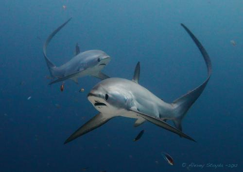 Thresher sharks - twins, Автор - Alexey Stoyda, Рейтинг - 4.15