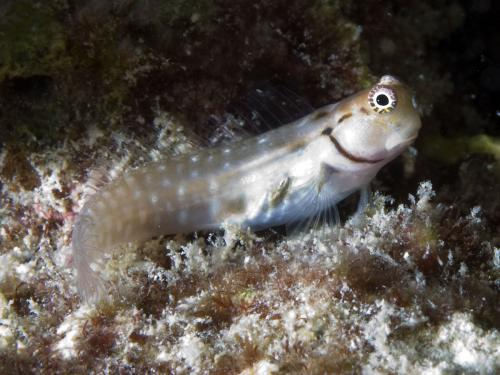 Ecsenius minutus - Maldives blenny, Автор - Andrey Ryanskiy
