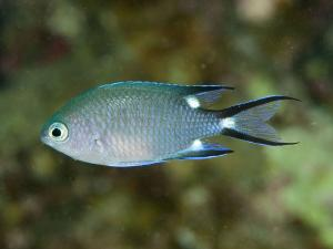 Chromis trialpha, Автор - Andrey Ryanskiy