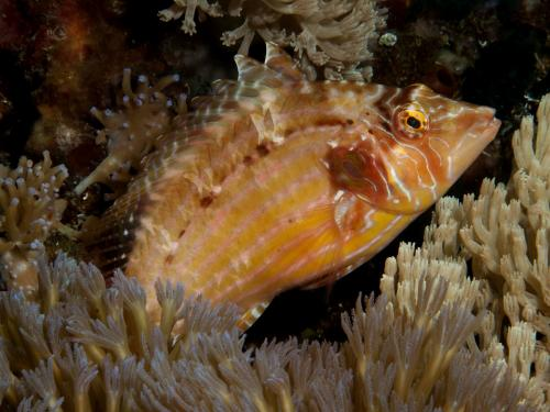 Cockerel wrasse, Автор - Andrey Ryanskiy